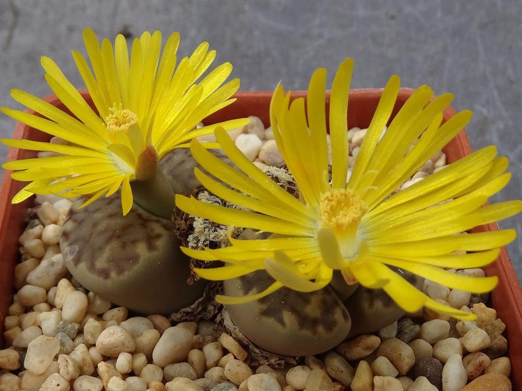 Lithops bromfieldii (Living Stones)