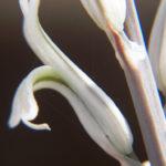 Haworthia nortieri (Cederberg Haworthia)