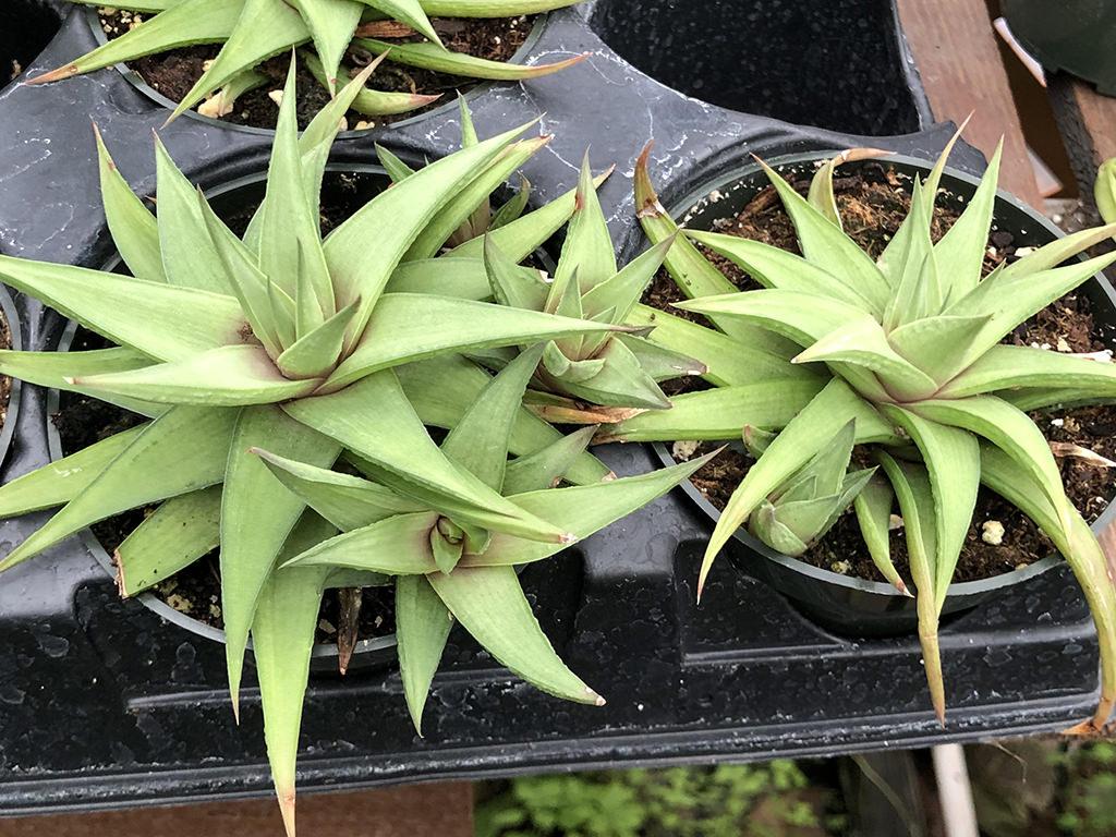 Haworthiopsis limifolia var. ubomboensis aka Haworthia limifolia var. ubomboensis