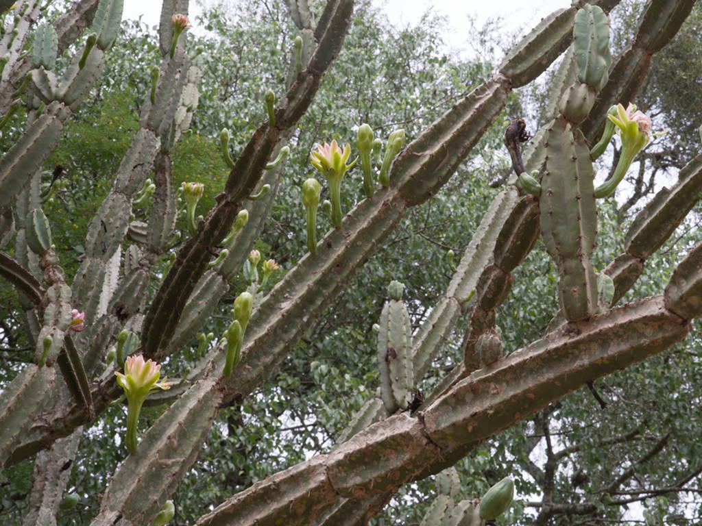 Cereus hankeanus