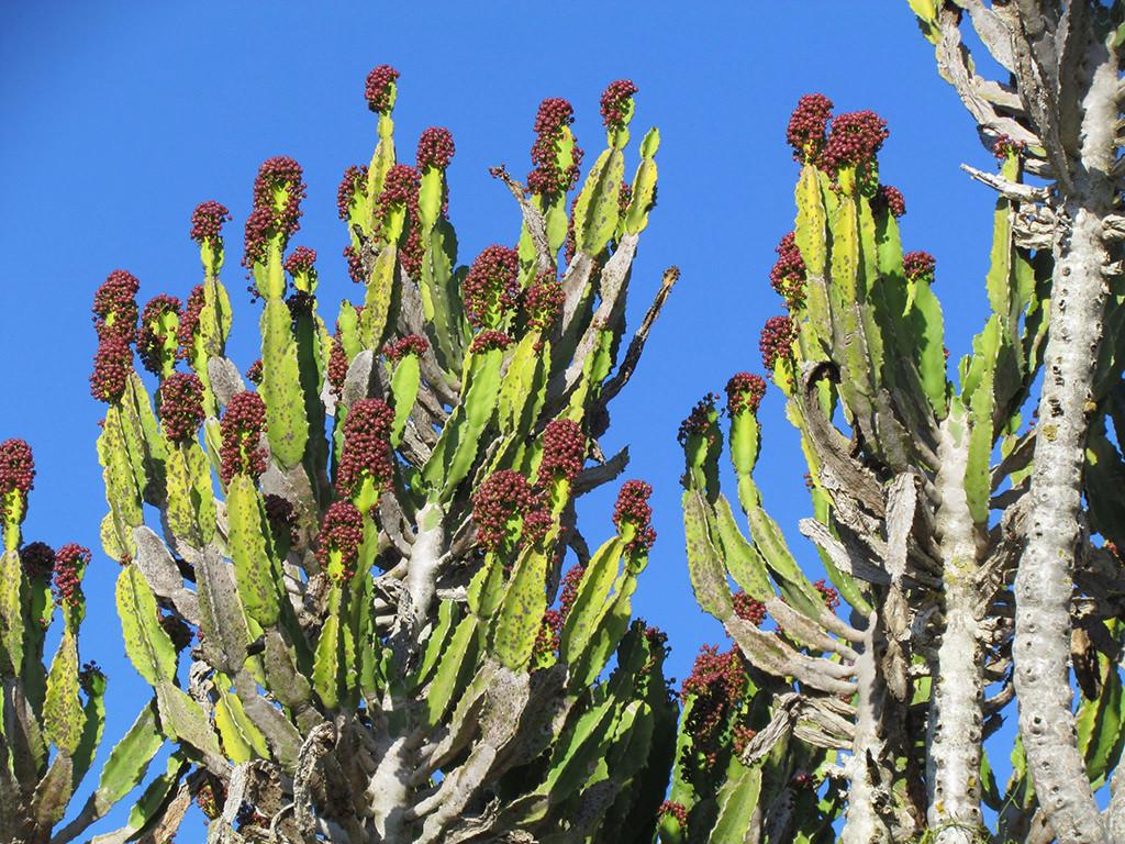 Euphorbia triangularis (River Euphorbia)