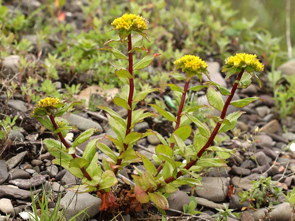 Phedimus litoralis (Popov Island Stonecrop)
