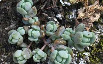 Sedum debile (Orpine Stonecrop)