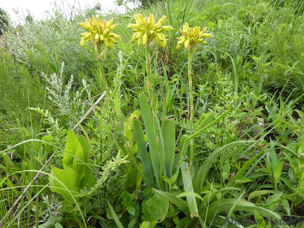 Aloe linearifolia (Dwarf Yellow Grass Aloe)