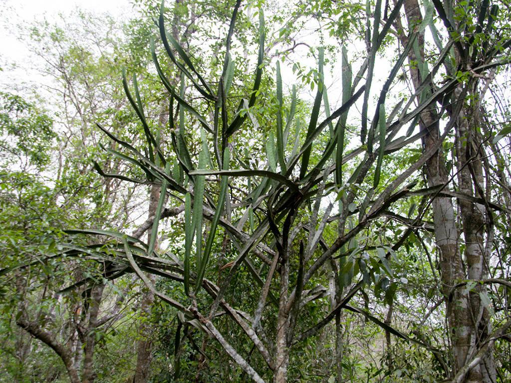 Cereus yungasensis