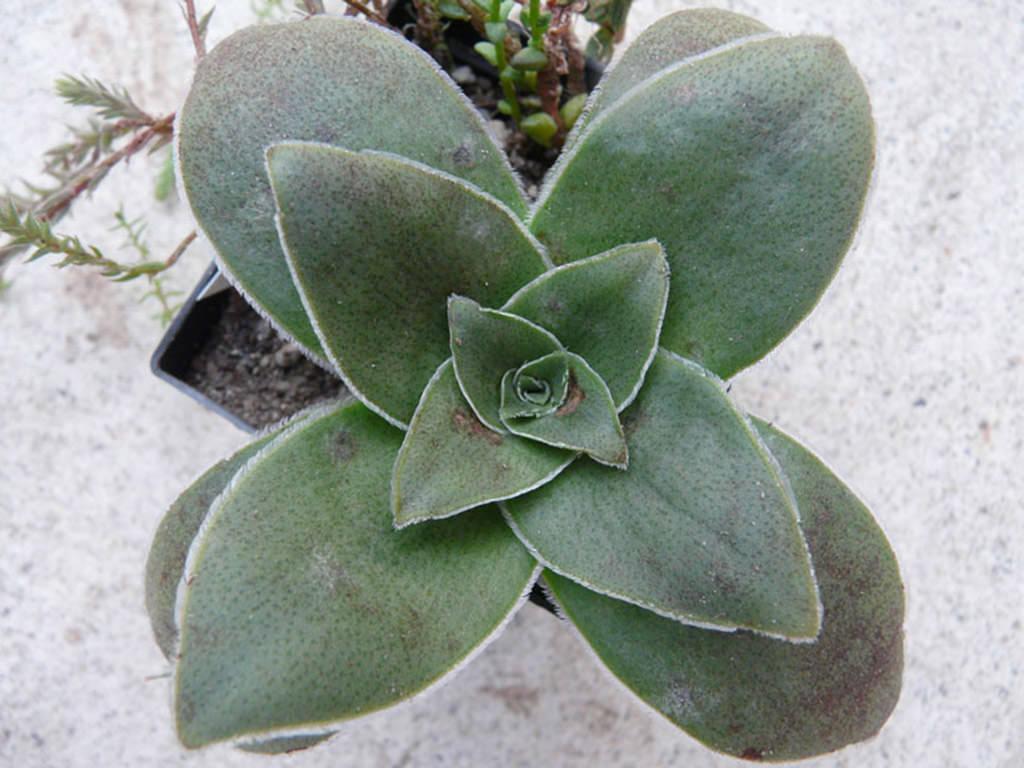 Crassula capitella subsp. sessilicymula