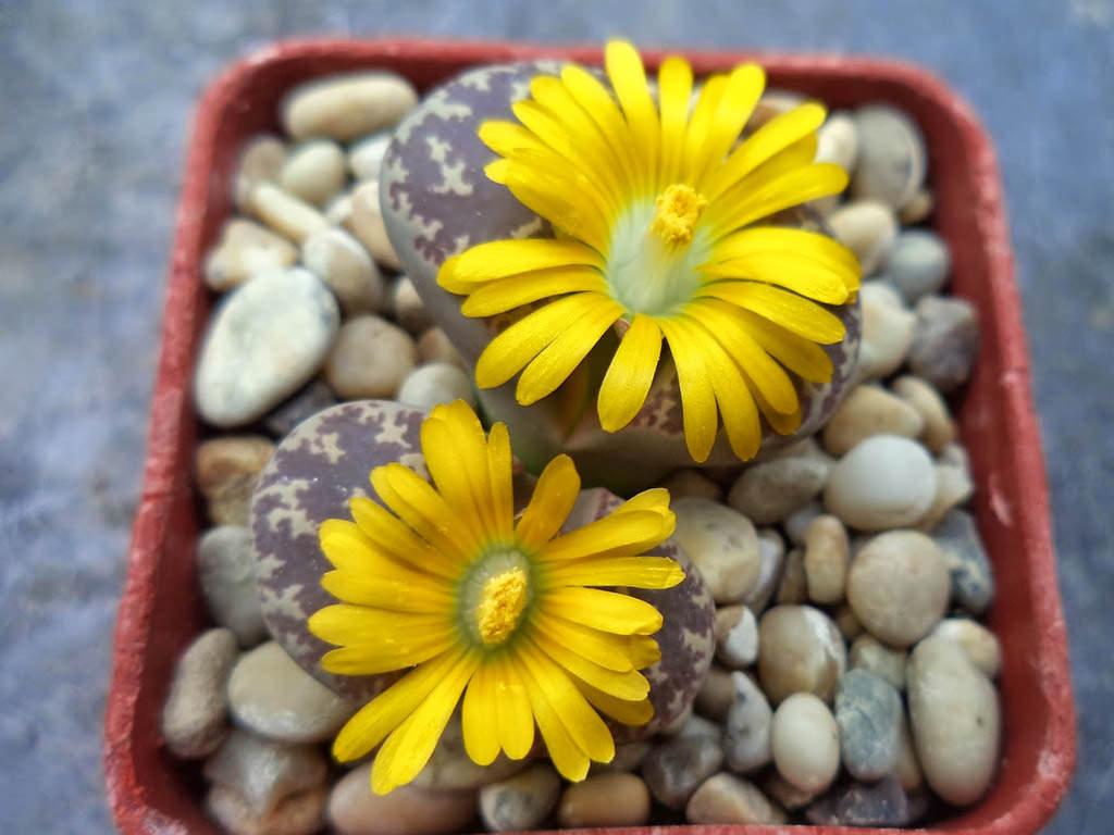 Lithops naureeniae (Living Stones)