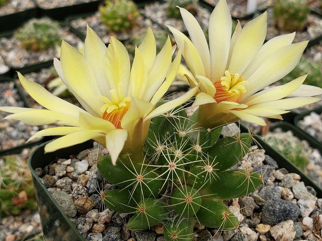 Mammillaria sphaerica (Longmamma Nipple Cactus)