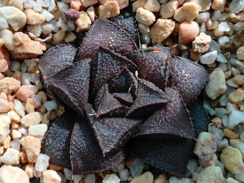 Haworthiopsis koelmaniorum var. mcmurtryi