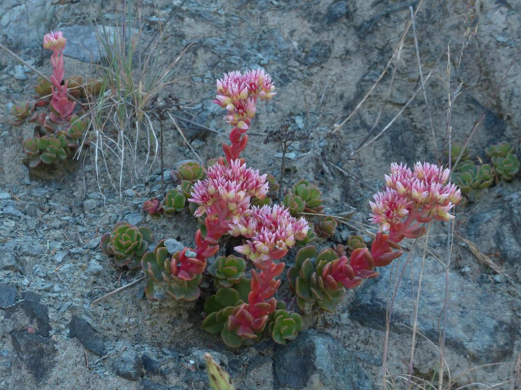 Sedum laxum (Roseflower Stonecrop)